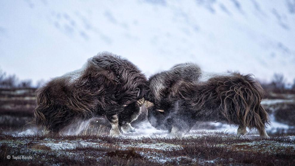 6. Белые носороги. (Фото Rudi Hulshof | Wildlife Photographer of the Year 2016):