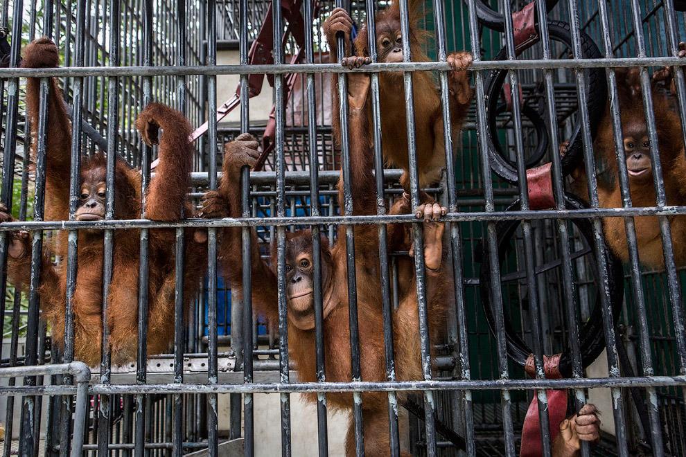6. Это суматранские орангутанги, которые находятся в реабилитационном центре. Как видно, часть