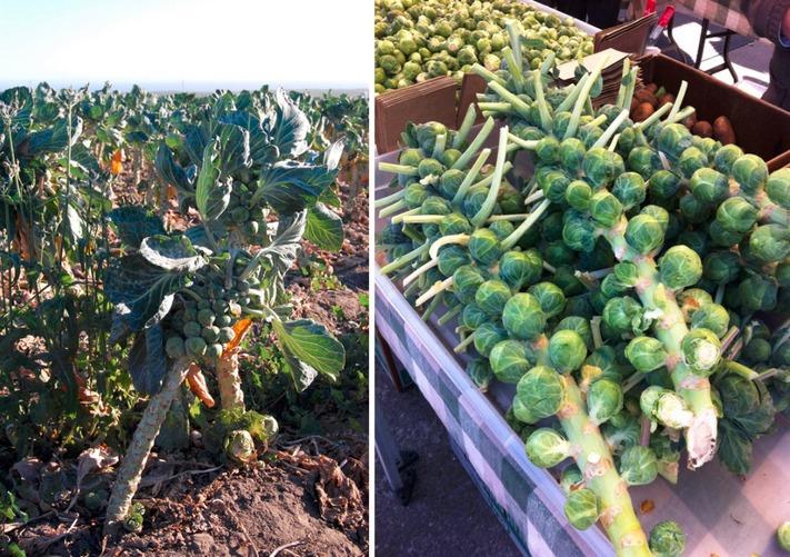 5. Вот так выглядит полезная брюссельская капуста, содержащая множество витаминов и минералов.