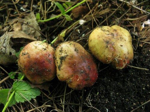 Сыроежка выцветающая (Russula exalbicans) Автор: Станислав Кривошеев