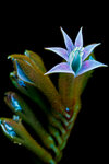 Kangaroos-Paw-Flower-4-Small.jpg