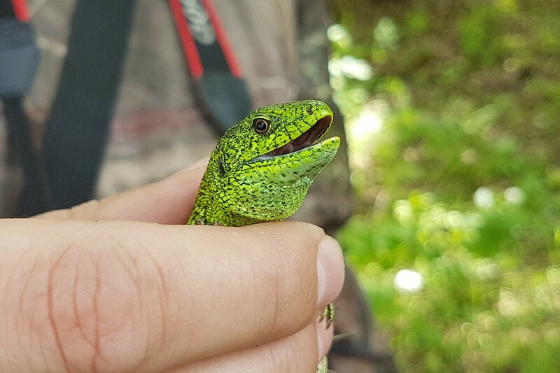Самец ящерицы прыткой (Lacerta agilis) в брачном наряде зелёного цвета с бурыми пятнами на берегу реки Немды под Советском
