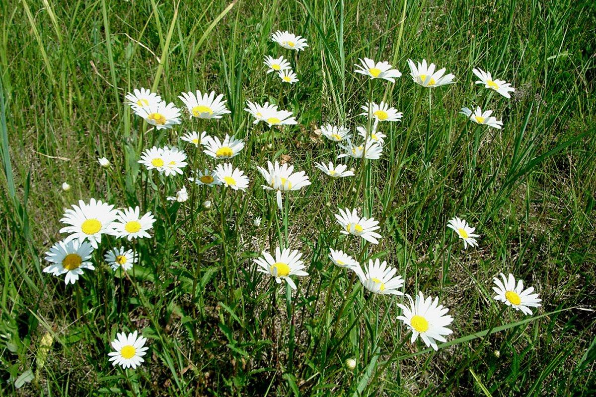 Продажа Leucanthemum (белый цветок)