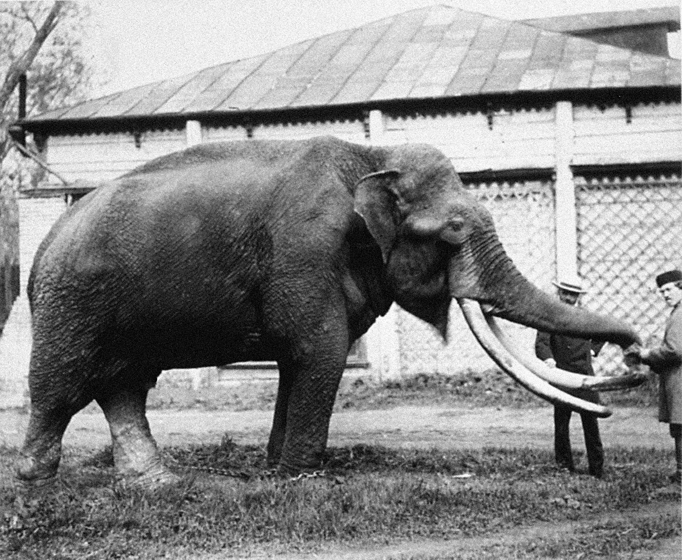Слон, подаренный императором Александром II, 1870 год. Фото: архив Московского зоопарка. Зоопаркраб