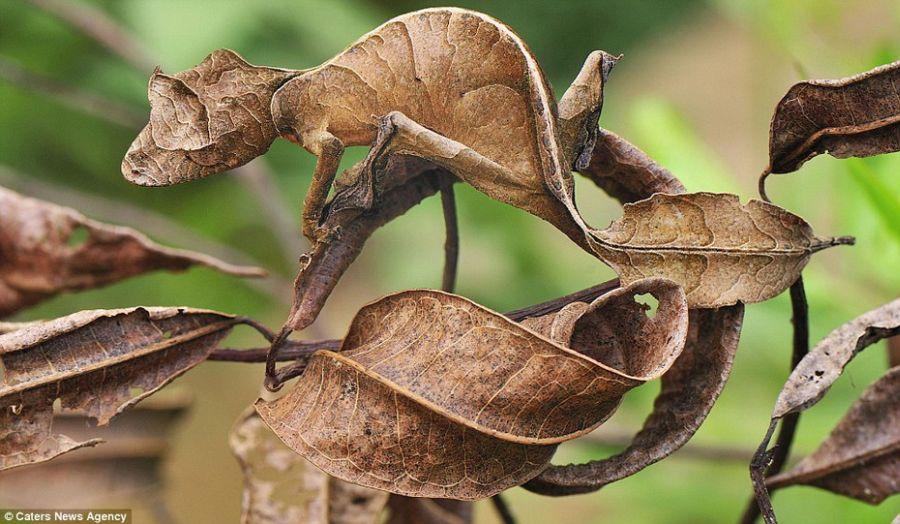 Мимикрирующая жаба. Заповедник Amacayacu, Колумбия.