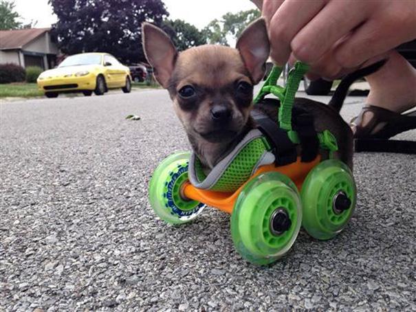 Парень распечатал на 3D-принтере колеса для своего увечного маленького друга.