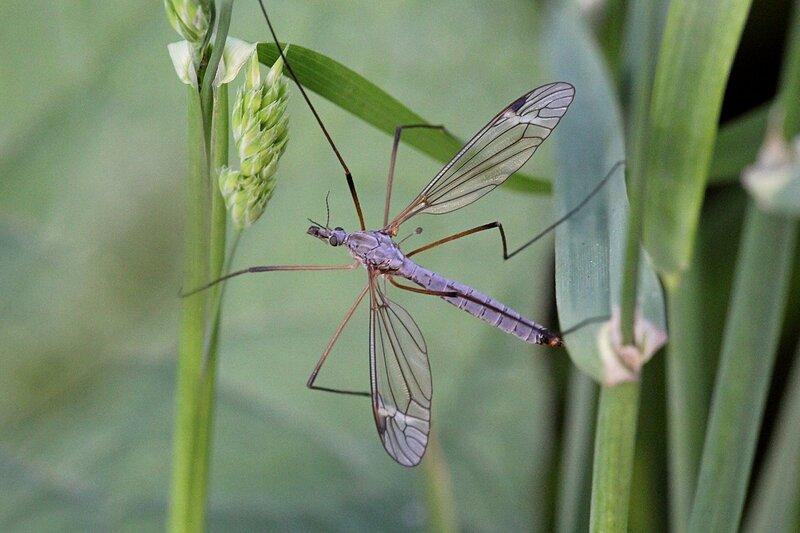 Комар-долгоножка (лат. Tipula) - крупный комар с длинными ногами, без хоботка и с крыльями с прожилками, в народе почему-то называемый малярийным комаром или балериной