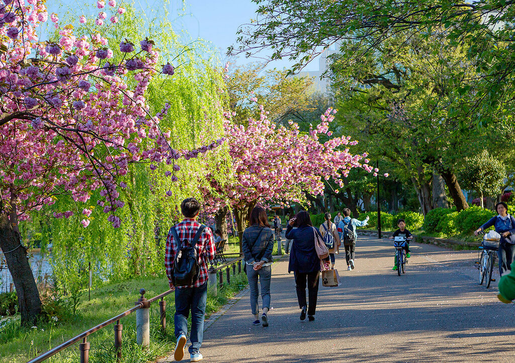 Япония. В дни цветения сакуры.