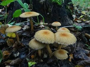 Псатирелла бархатистая (Lacrymaria lacrymabunda)