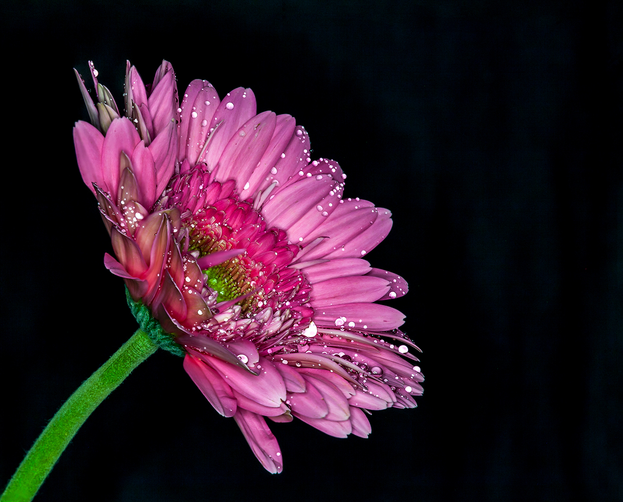 Герберы / Red, pink, white gerbera
