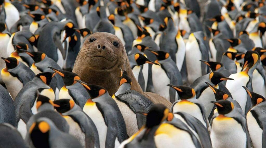 Морской слон и колония пингвинов