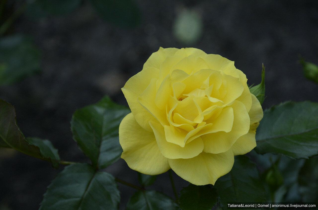 Королева цветов