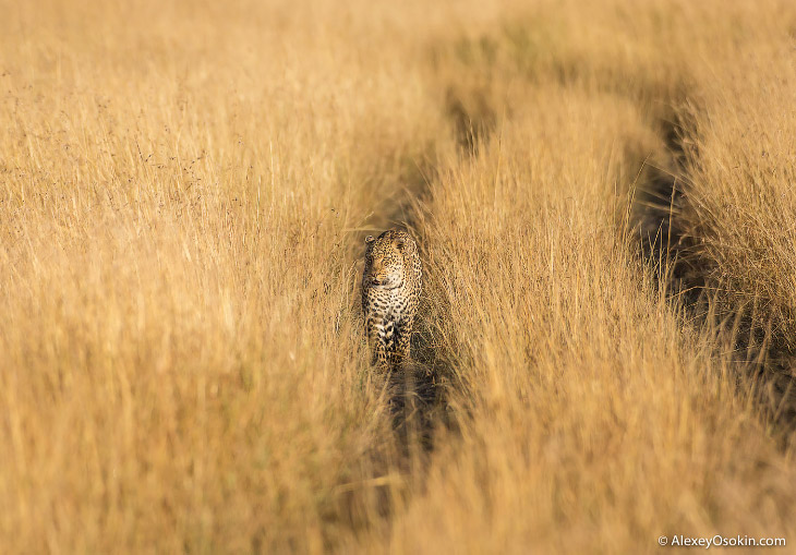 2. Несмотря на свой относительно небольшой размер, леопард способен охотиться на животных втрое прев