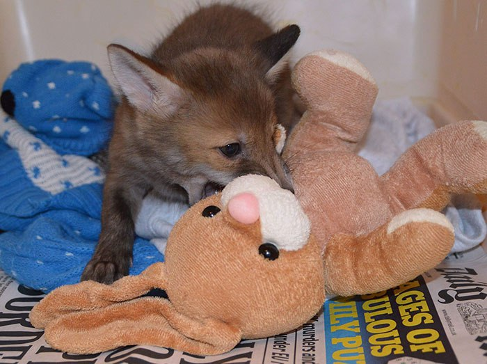Знакомьтесь – это Паггл, спасенный малыш-лисёнок, который жить не может без своего лучшего друга