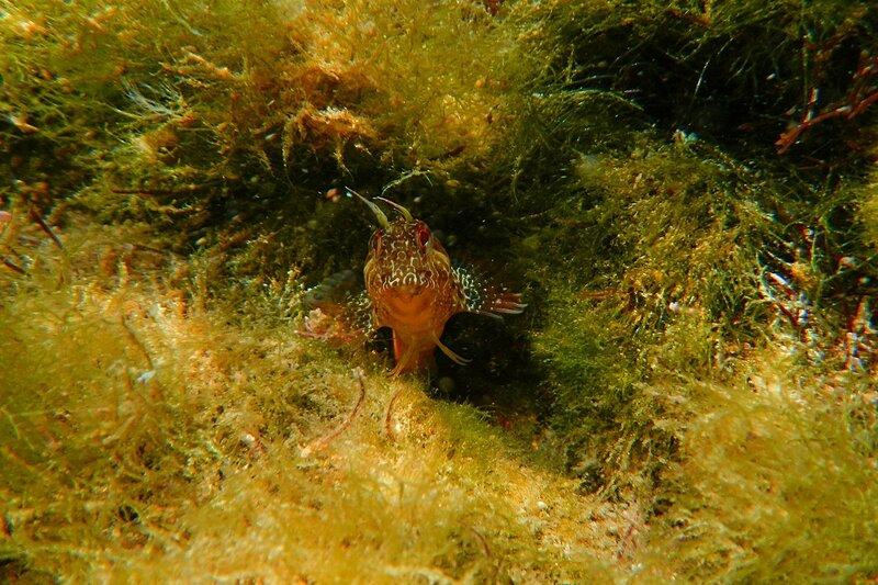 Морская собачка-сфинкс (лат. Aidablennius sphynx) с усиками на голове между красными глазками высовывается из своей норки в камне среди водорослей в бухте Омега на Чёрном море