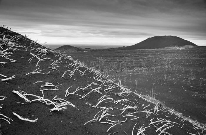 Засыпанный пеплом стланик на склоне одного из вулканов.