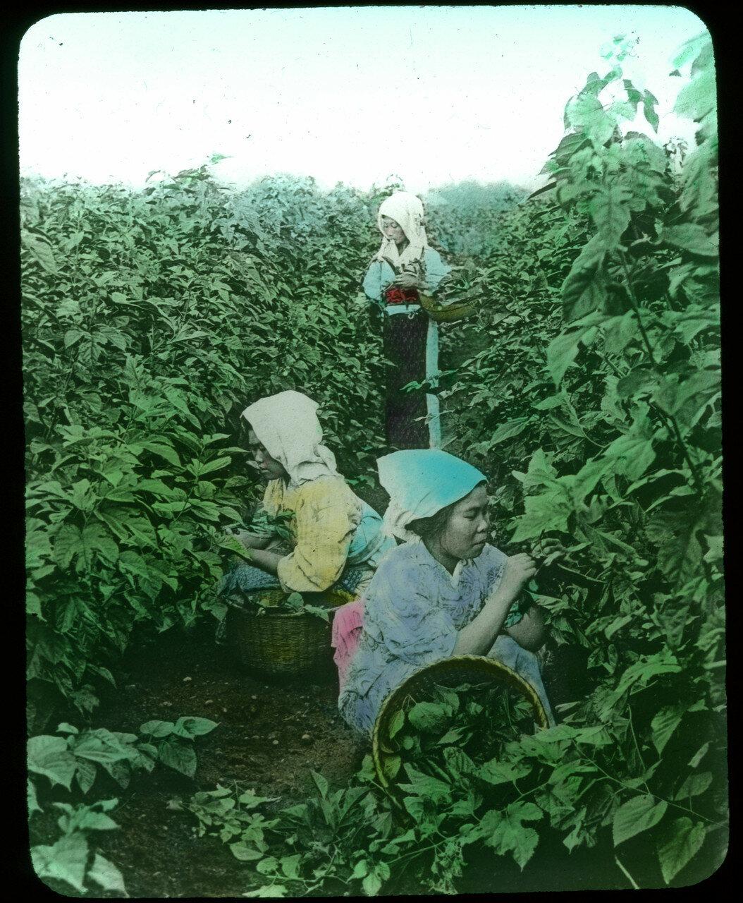 Сбор листьев шелковицы