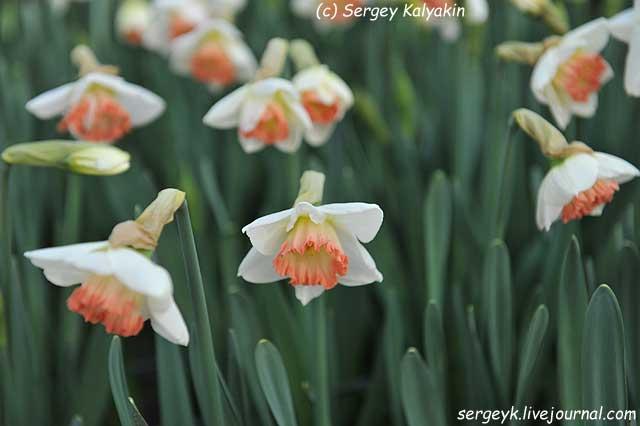Narcissus Zafira (1).JPG