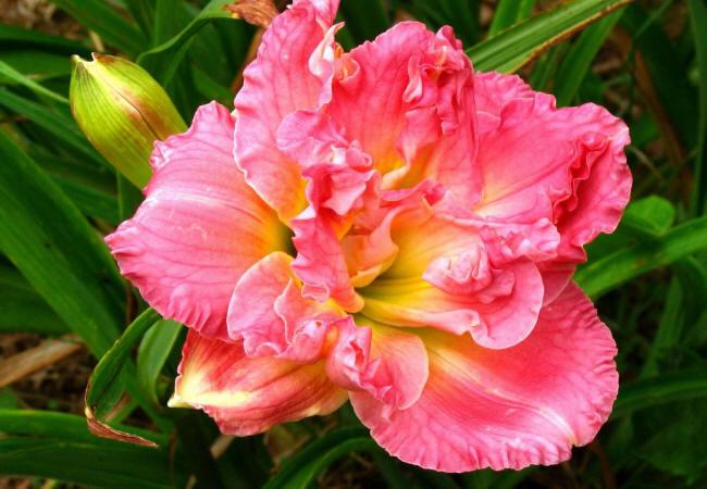 рожева квітка
