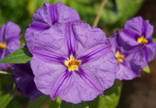 фіолетова петунія