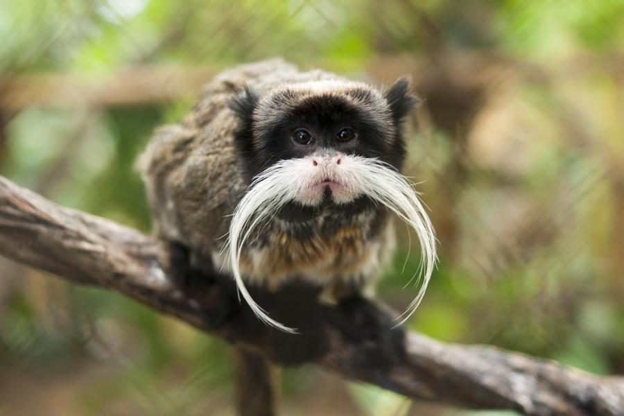 Конечно, эту обезьянку так прозвали задлинные белые усищи. Настоящая копия императора или древнего