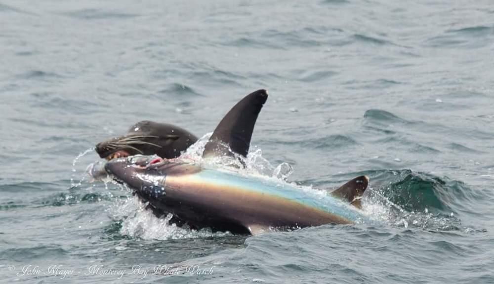 Морской лев отобедал лисьей акулой