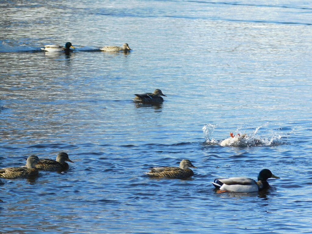 Утки на реке Волчьей