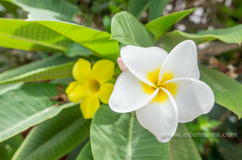 Франжипани цветок