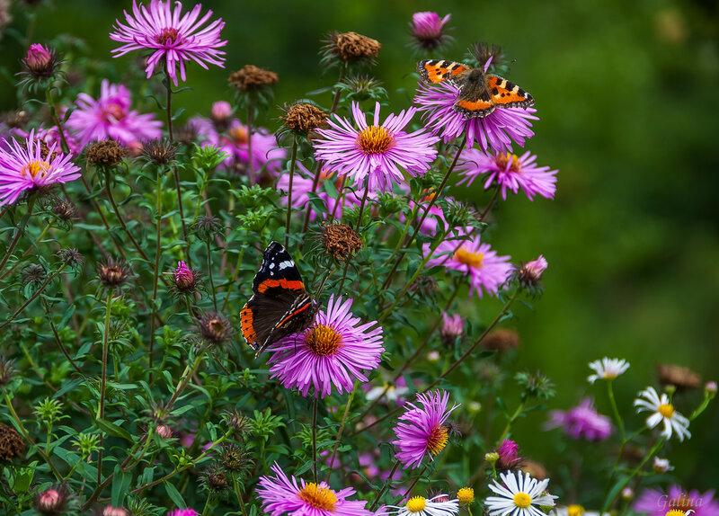 Астра американская и бабочки