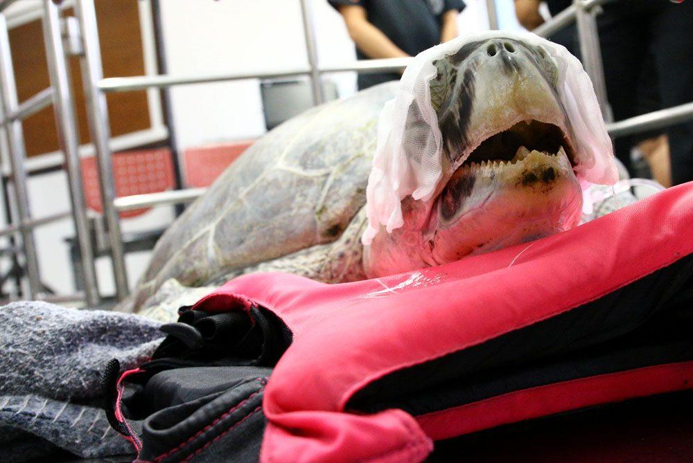 К счастью, операция прошла успешно, все монеты извлечены, черепаха после операции находится в стабил