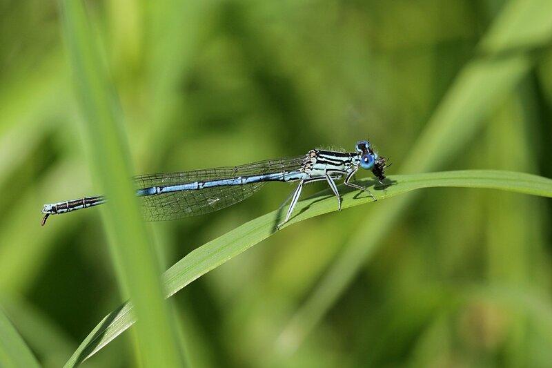 Стрекоза стрелка-девушка (Coenagrion puella), самец голубого цвета с большими выпуклыми глазами на травинке поедает свежепойманную добычу - мелкую мушку