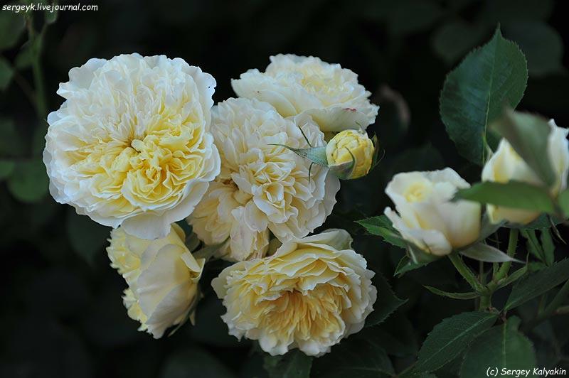 Rosa The Pilgrim  (5).JPG
