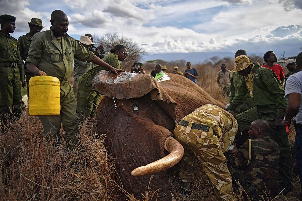 Ученые тут, как тут. Обычная длина хобота африканского слона — около 1.5 м, вес — 135 кг. Благо