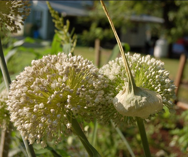 11. Эти красивые соцветия принадлежат обычному луку-порею.