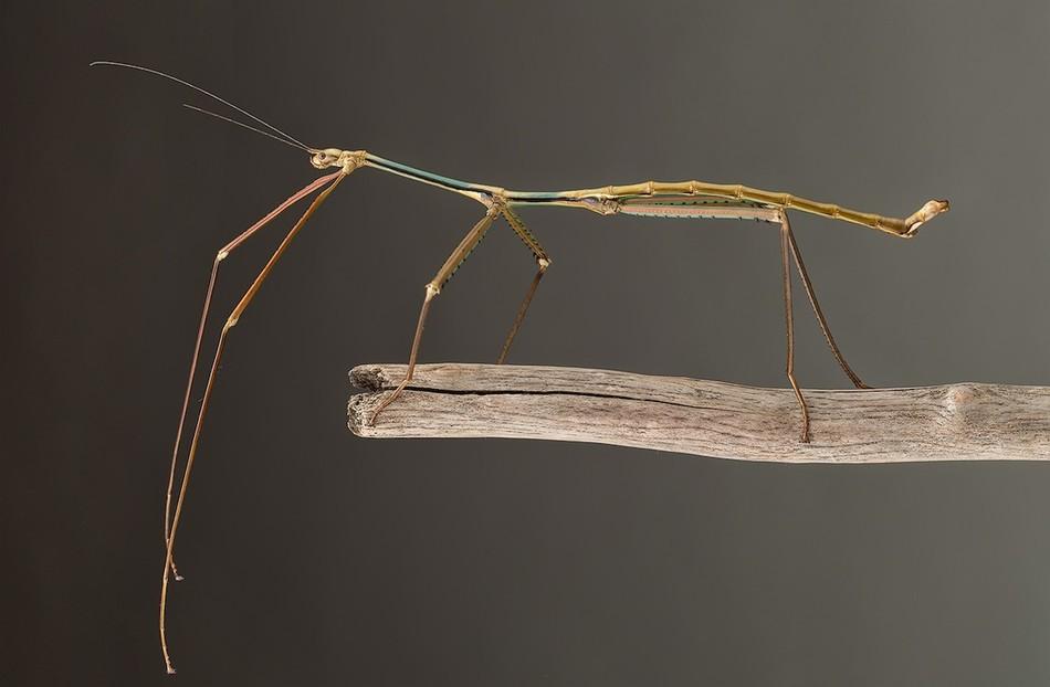 В 2015 году неподалеку от Ханоя (Вьетнам) ученое нашли весьма крупное насекомое, размер тела которог