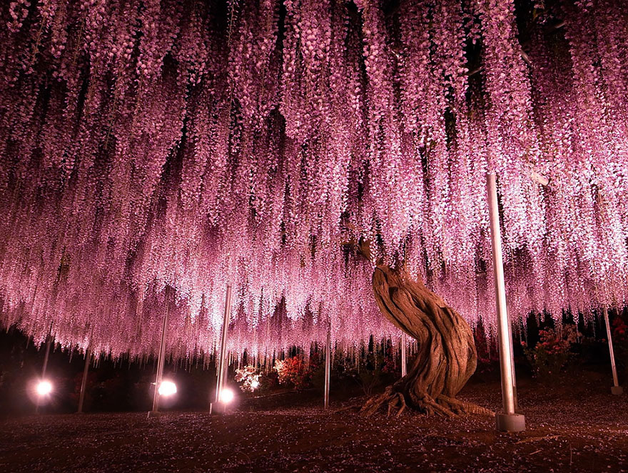 7. 144-летняя глициния в Японии