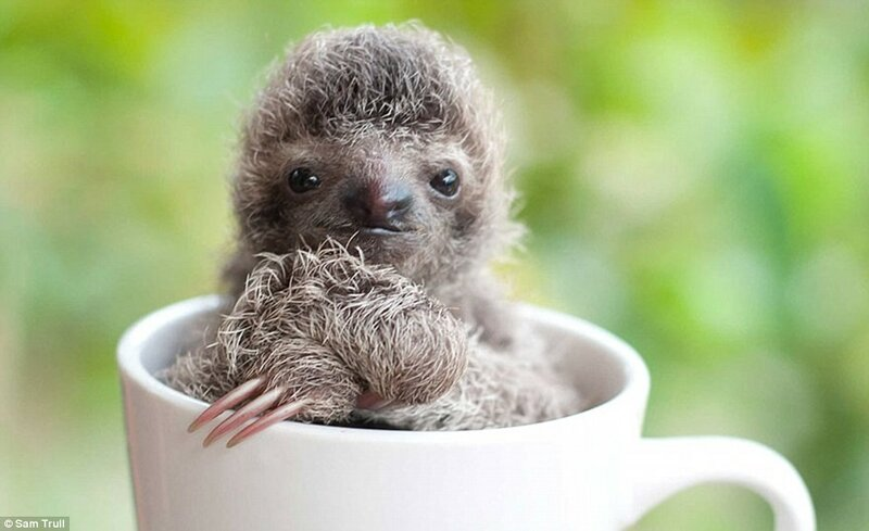 Некоторые ленивцы ещё настолько крошечные, что умещаются на ладони. Этот, например, комфортно чувствует себя в кружке.
