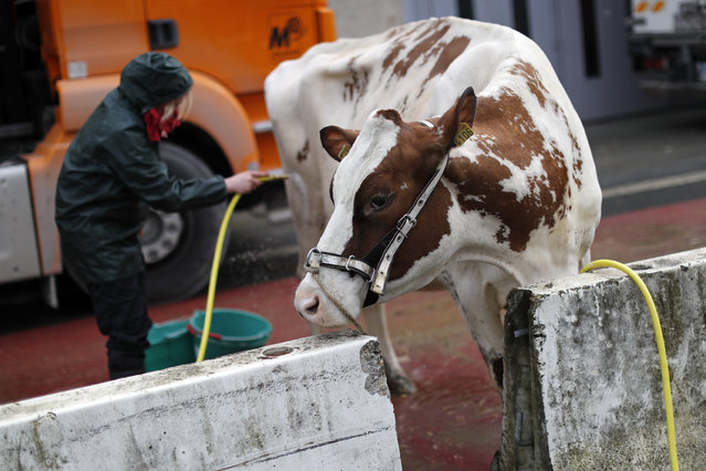 A farmer cleans her cow as preparations continue on the eve of the opening of the International Agri