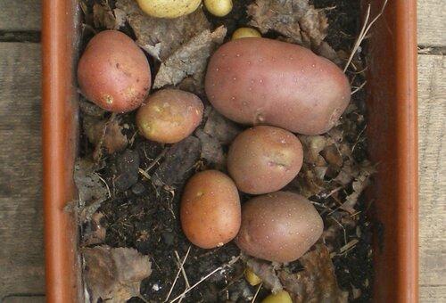 Клубни Арозы полученные из белых этиолированных ростков на подоконнике.