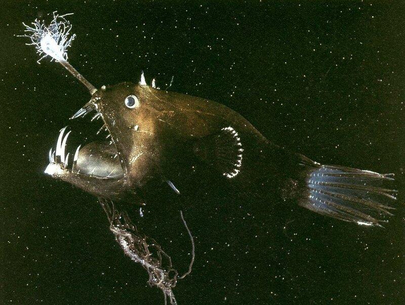Anglerfish-2.jpg