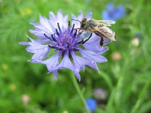 Пчела и василёк.