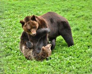 Поединок медведей.