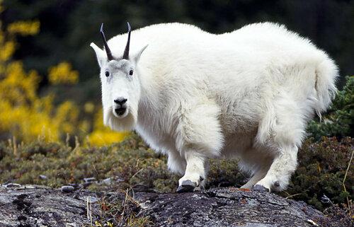 mountain_goat_1_5609_travel_alberta.jpg