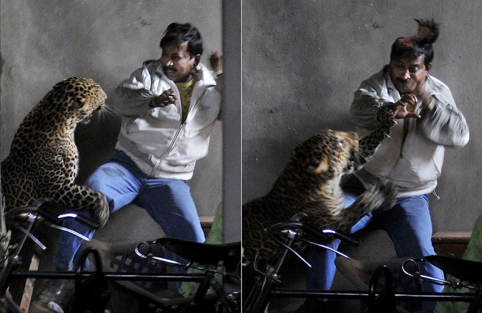 9. Нападение леопарда в северном индийском штате Уттар-Прадеш, февраль 2014 года. Большой кот о