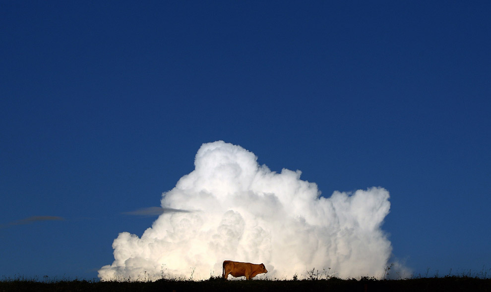 3. Коровы заботятся о своем здоровье и носят маски во время извержения вулканов . Перу, 19 апре