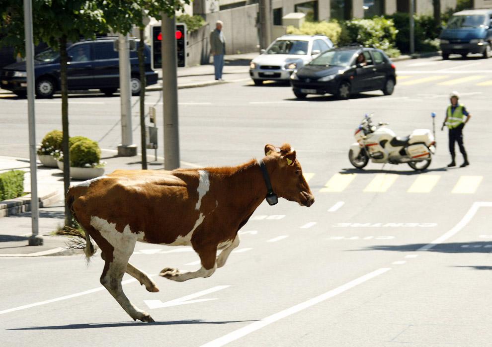 12. Коровы любвеобильны. Германия, 29 марта 2011. (Фото Kerstin Joensson):