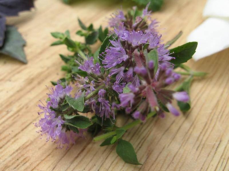 9. Болотная мята Этот вид мяты пахнет очень сильно, так что многим людям не нравится ее резкий арома