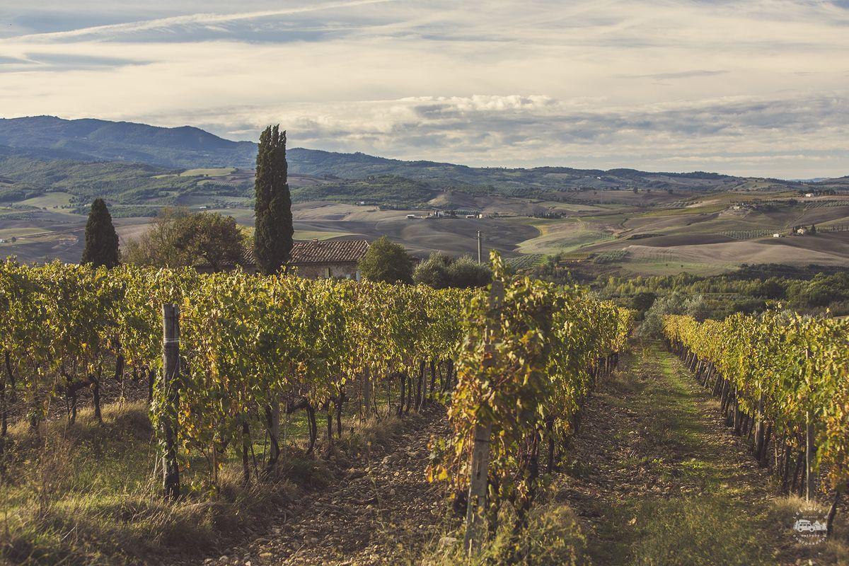 Брунеллушка растет! Урожай 15-го года уже собран, так что если доведется испить Brunello di Montalci