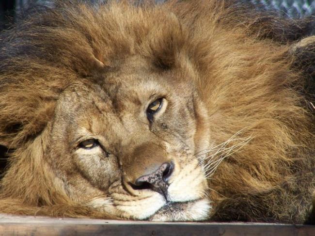 Этот лев был болен иблизок ксмерти, нопотом онвстретил ее (7 фото)