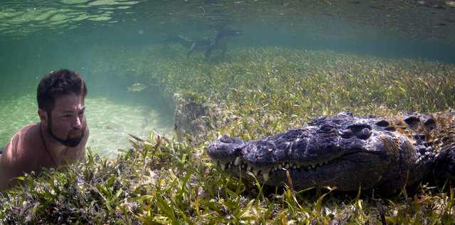 Wildlife biologist Forrest Galante gets up close and personal with a wild crocodile in clear waters
